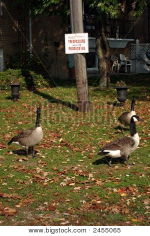 Trespassing Geese