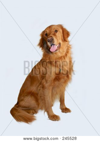 Feliz Golden Retriever