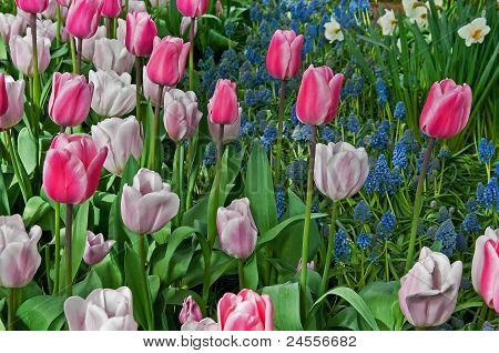 Pastel Colored Tulips And Grape Hyacinth Flower Garden