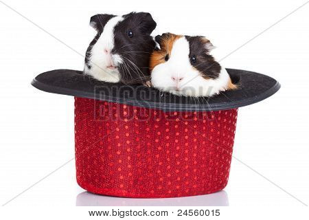 Guinea Pigs Sitting In A Red Hat
