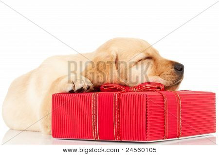 Sleeping Labrador Puppy On A Gift