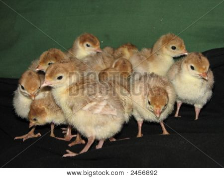 Turkey Poults Group
