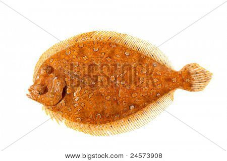 Trubot fish Psetta maxima  isolated on white just after catch