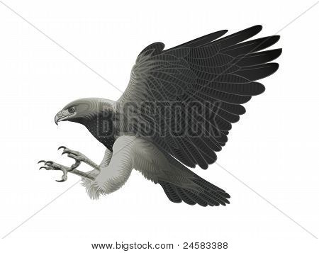 Black chested Eagle buzzard