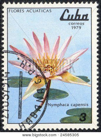 Nymphaea Capensis