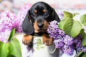 dachshund puppy brown tan color and lilac purple poster
