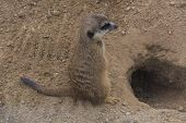 Meerkat, Cape Ground Squirrel Or Gopher Named Is A Desert Mammal. Wild Little Rodent. poster