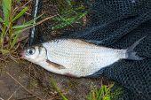 Single Freshwater Fish White-eye Bream On Black Fishing Net. poster