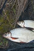 Two Freshwater Fish White Bream Or Silver Fish On Black Fishing Net.. poster