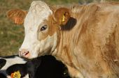 picture of hereford  - Young brown and white Hereford calf in a field - JPG