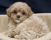 stock photo of cute puppy  - A clean cute shih tzu Puppy posing from his bed - JPG