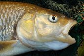 stock photo of chub  - Close up of a big European Chub  - JPG