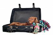 stock photo of misbehaving  - A delightful view of a small naughty Dachshund dog playfully peering out from inside a black suitcase - JPG