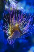 Snakelocks Sea Anemone (anemonia Viridis), A Sedentary Marine Coelenterate In A Group Of Marine, Pre poster