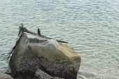 A Coromorant Sitting On A Piece Of Driftwood Resting On A Rock. The Ocean Surrounds The Rock. The Ro poster