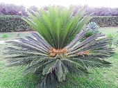 Chicas Palm Green Leaves Tropical Background. Arecaceae Family Cycas Revoluta, King Sago Palm. Close poster