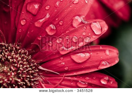 Dew Drops On Gerbera Daisy