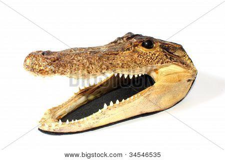 Mounted American Alligator
