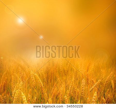 Glowing golden orange sunset over a field of ripe ears of wheat with a blurred misty background effect for your copyspace
