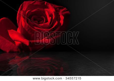 Beautiful Red Rose with Reflection