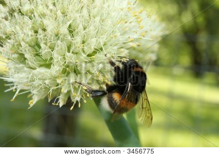 Bumblebee On The Ball-Shaped Flower