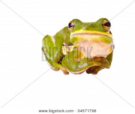 Tree frog isolated on white