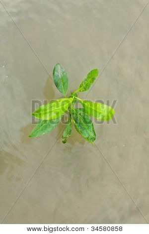 Young Mangrove Tree