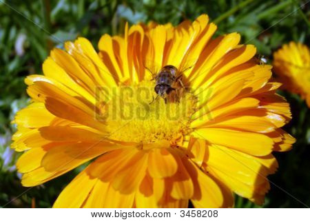 Yellow Bee In The Yellow Flower