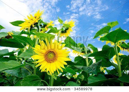 Fine Summer Field Of Sunflowers .