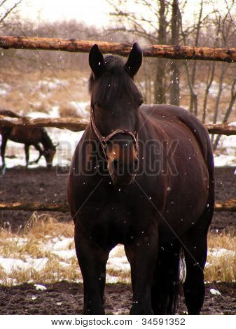 braunes Pferd Porträt bei Schneefall