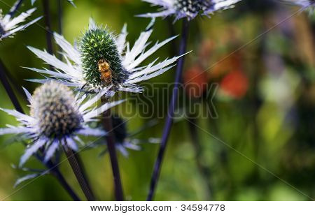 Busy golden been on green pistil of blue thorny petal  Eryngium flower with soft background