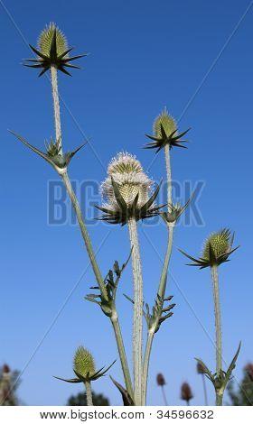 Teasel Plant Flowers Blue Sky.