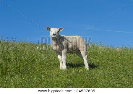 Lamb On A Dike