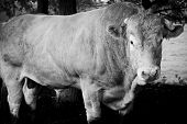 Huge Pedigree Limosine Bull Cow Grazing In The Sun On A Summer Meadow Between The Trees In Monochrom poster