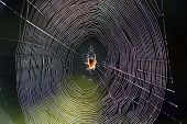 stock photo of spider web  - a spider sitting in the middle of her web - JPG