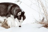 Siberian Husky Black And White Colour With Blue Eyes Outdoors In Winter. A Pedigreed Purebred Dog poster