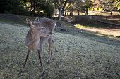 Young Deer In The Park Nara Park. Nara Kpark Is A Large Park In Central Nara And It Is The Location  poster
