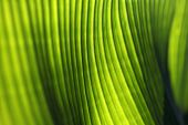 Soft focus Banana palm tree leaf closeup. Natural texture background. Green vibrant color. Sun light poster