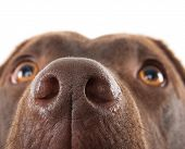 stock photo of close-up  - A brown labrador nose close-up against a white background