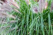Ornamental Grass. Fountain Grass Is A Hardy Perennial Ornamental Grass Used In Yards For Landscaping poster