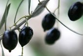 picture of olive branch  - ripe black olives on a branch - JPG
