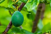 Closeup Of A Unripe Green Plum, Prunus A Popular Fruiting Plant Specie From Europe And Asia, Gardeni poster