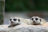 Two meercat looking