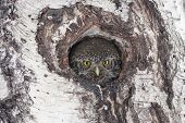 Eurasian Pygmy Owl, Tiny And Very Cute Nocturnal Predator Bird, Looking From Hollow In Birch Tree. B poster