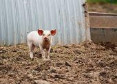 Domestic Pig Farming poster