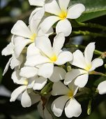 picture of champa  - White Frangipani Is A  Beautiful White Flower With Yellow Center - JPG