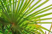 Tropical Palm Leaf Background, Coconut Palm Trees Perspective View.  Palm Leaves And Sun On Blue Sky poster