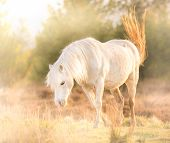 White Horse - Beautiful White Stallion Running On A Meadow At Dawn poster