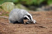 The European Badger (meles Meles) Also Known As The Eurasian Badger Or Simply Badger Eats Dead Wild  poster