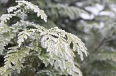 Thuja Occidentalis With Frost On Branches The Tree Branch Is Covered With Frost poster